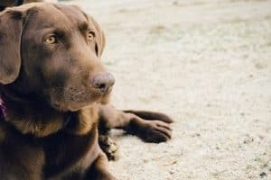 Best Hunting Dog for Preppers
